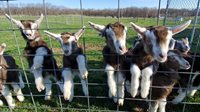 Goat-kids-gathering